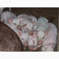 Поросята 16кг Крупной Белой породы домашние ухоженные