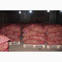 Картофель оптом от производителя 5