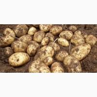 Свежий картофель оптом от производителя