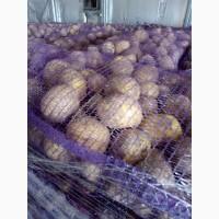 Картофель оптом от производителя со склада в Брянской обл