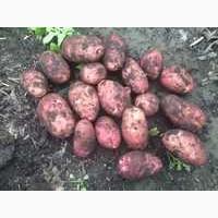 Семенной картофель, сорт ред-скарлет