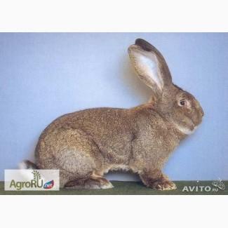 Кролики мясных пород - немецкий ризен и калифорнийцы