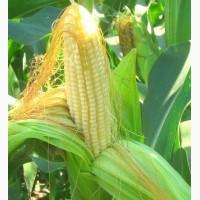 Гибриды семена Кукурузы (Singenta, Pioneer, Monsanto, NS, Limagrain)
