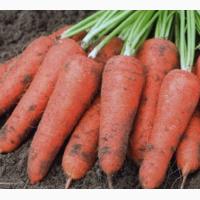 Продам морковь оптом от производителя