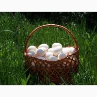 Реализуем инкубационное яйцо индейки