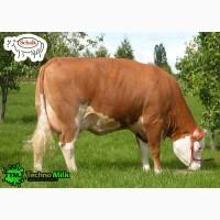 Поставка племенных коров из европы в страны Снг