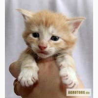 Мейн кун - самые большие домашние кошки