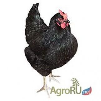 Яйца инкубационные несушек Доминант чёрная Д 109 из Чехии