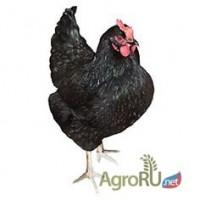 Яйца инкубационные несушек Доминант чёрная Д 109