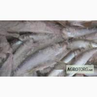 Свежемороженая рыба из Финляндии - салака, килька