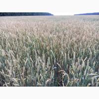 Семена озимой пшеницы Черноземка 130 ЭЛИТА