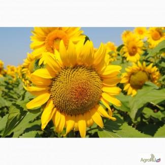 Семена гибридов подсолнечника ЛГ 5550 от (Limagrain)