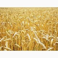 Семена пшеницы сорт Маргарита