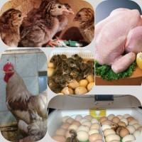 Цыплята, петухи, яйца на инкубацию