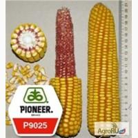 Семена кукурузы П9025 ФАО330