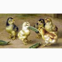 Комбикорм для бройлеров ПК-6 и цыплят с 4 недели жизни