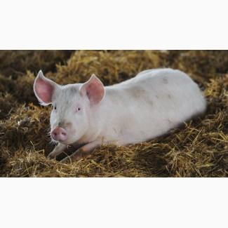 Срочно Свиньи живой вес / опт Фермерская свинина