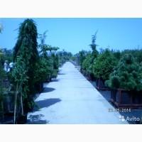 Саженцы хвойных и лиственных деревьев оптом