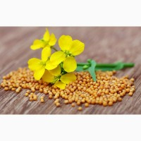 Продаём семена белой горчицы сорт: рапсодия-ЭС