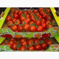 Оптовая продажа помидоров Сабина