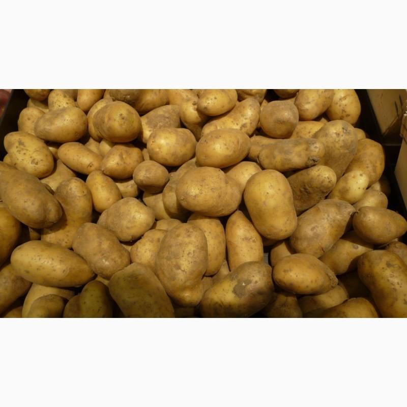 купить семена картофеля ривьера