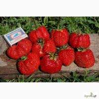 Продам рассаду земляники садовой (клубники) Гигантелла (с 15 августа 2017)
