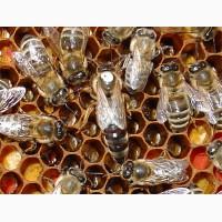 Продажа пчеломаток карника, бакфаст, карпатка