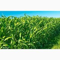 Семена сорго-суданский гибрид