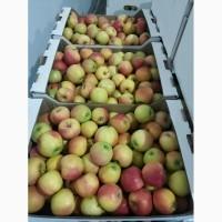 Яблоки Кристин готовы к оптовой отгрузки