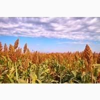 Продаем зерновое сорго (фураж)