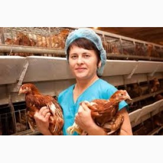 Куры молодки несушки, цыплята с питомника
