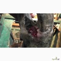 Обрезка и лечение копыт у коров