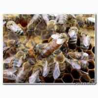 Пчелы пчелопакеты Краинка Карпатк Санкт-Петербург 2017