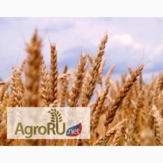 Семена озимой пшеницы сорта Алексеич, Антонина
