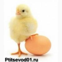 Цыплята, индюшата, утята, гусята, цесарята
