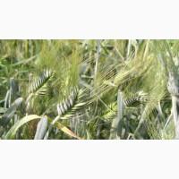 Семена озимого тритикале Валентин-90