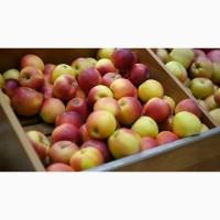 Оптовая продажа яблок Бородинка по цене от производителя