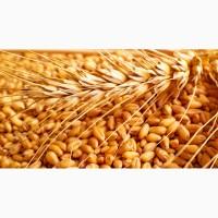 Семена озимой пшеницы: Донэко, Леонида, Гром, Донэра, Веха, Скипетр, Губернатор Дона, Юка