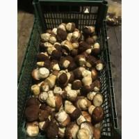 Белые грибы свежие оптом урожай 2021г