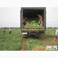Продаю семена арбузные