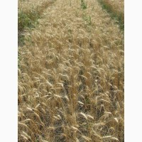 Семена пшеницы озимой РС1 фасованные в мешки