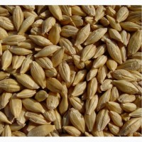 Семена озимого ячменя Серп, Кондрат