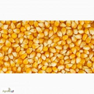 Зерно кукурузное