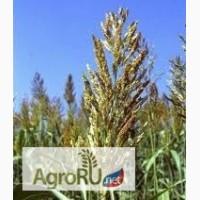 Продаю семена суданской травы (Суданка, семена)