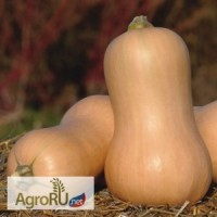 Матильда F1, семена тыквы, 500 шт. (Энза Заден)