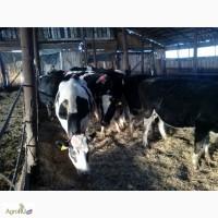 Коровы черно-пестрой породы