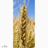 Семена озимой пшеницы Безостая 100