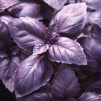 Семена Базилика Red Rubin