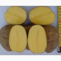 Картофель Гала 5
