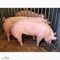 Свиньи 90 - 130кг (шпик 2-3см )